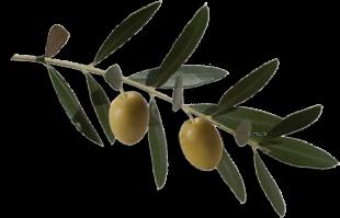 L 39 olivier de mougins font de l 39 orme caf bar restaurant - Cochenille noire de l olivier ...
